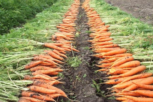 morkov v otkrytom grunte