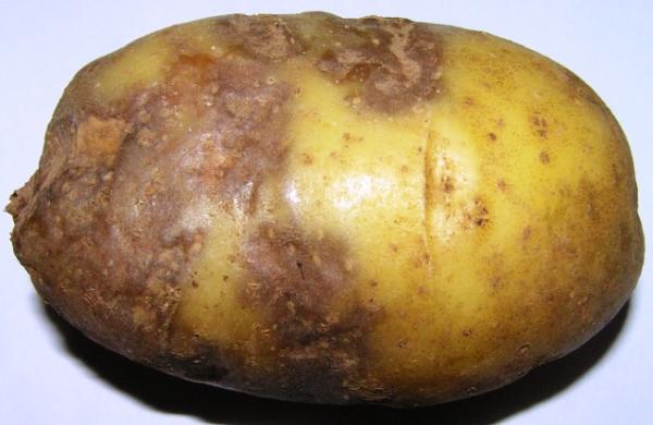 potato7 1