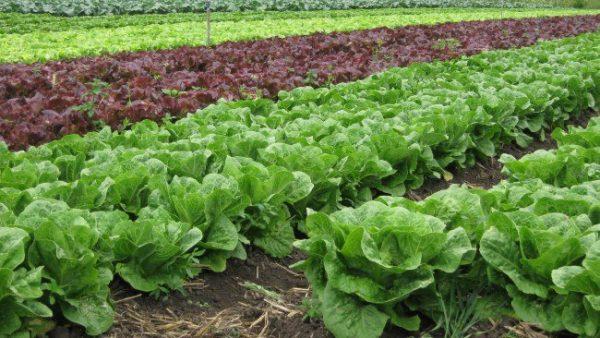 ranniy salat10