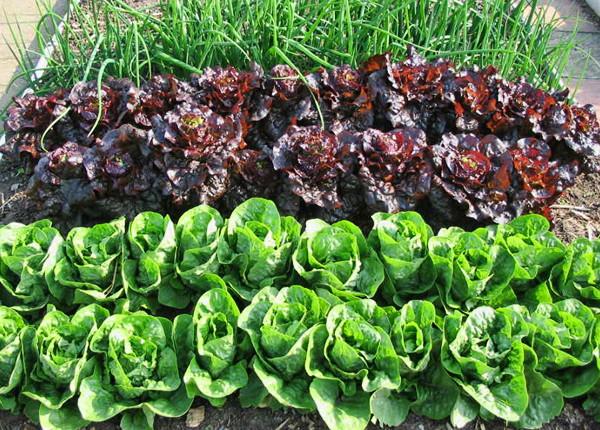 ranniy salat2