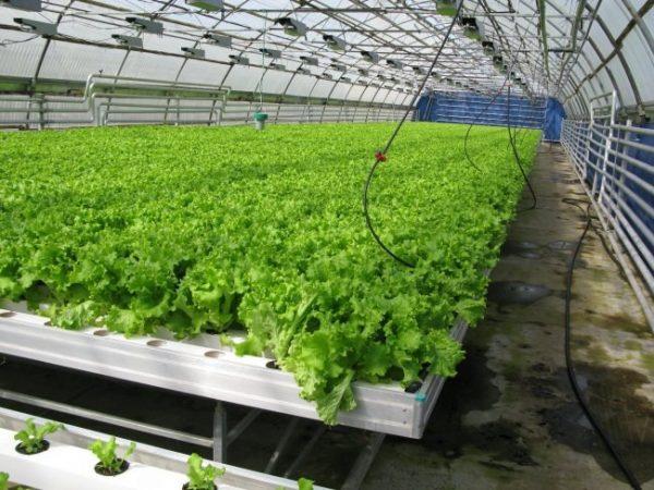 ranniy salat20