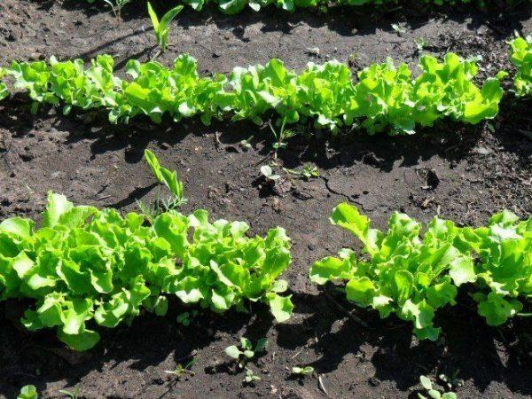 ranniy salat7
