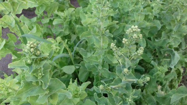 ranniy salat8