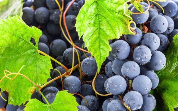 vinograd grozdya
