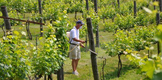 vinograd grozdya7