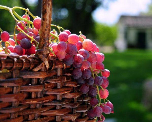 vinograd na dache vesnoy