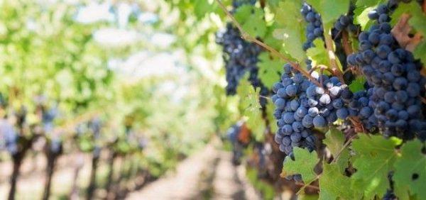 vinograd na dache vesnoy5