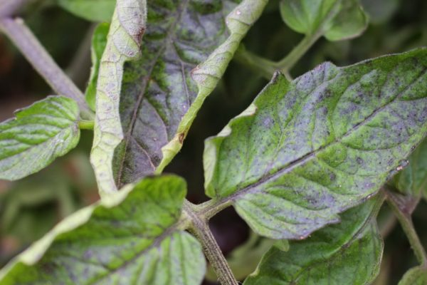 Zakruchivayutsya listya tomatov6