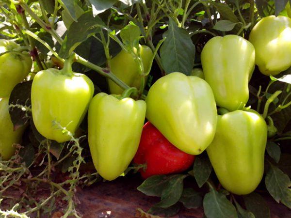 bell pepper8