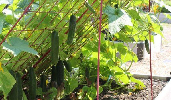 cucumber6