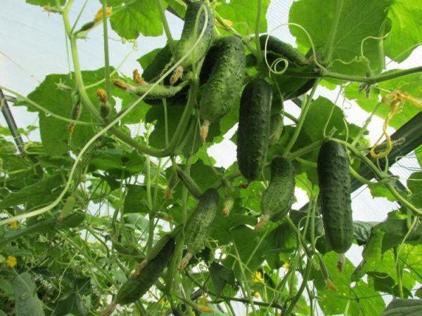 cucumbers6