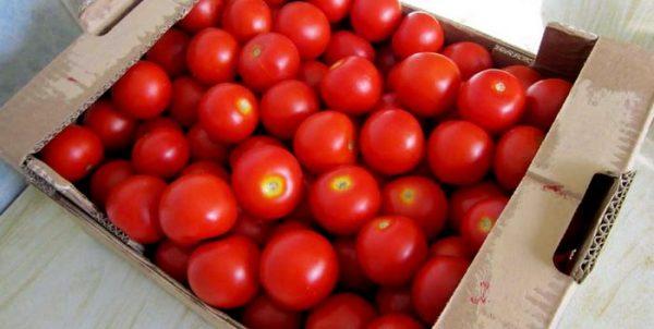 fitoftora na pomidorah8