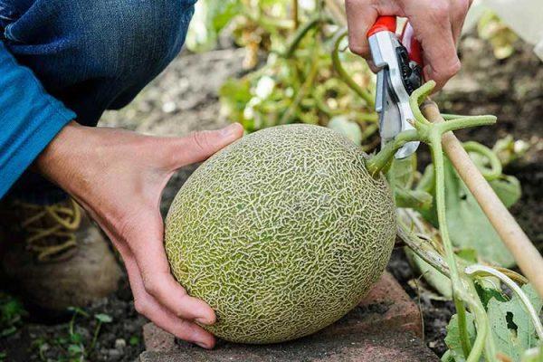 melon9
