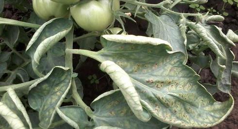 skruchenye listya tomatov