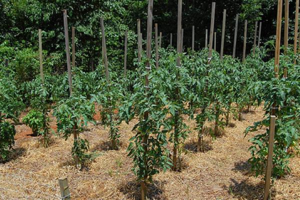 skruchenye listya tomatov5