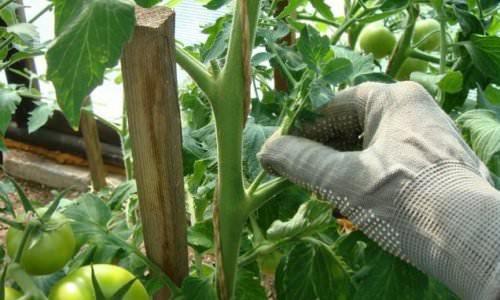 skruchenye listya tomatov9