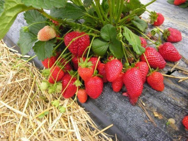 strawberry4 1