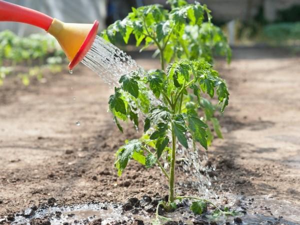 tomati gavrisha10