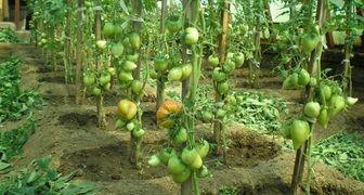 tomati gavrisha2