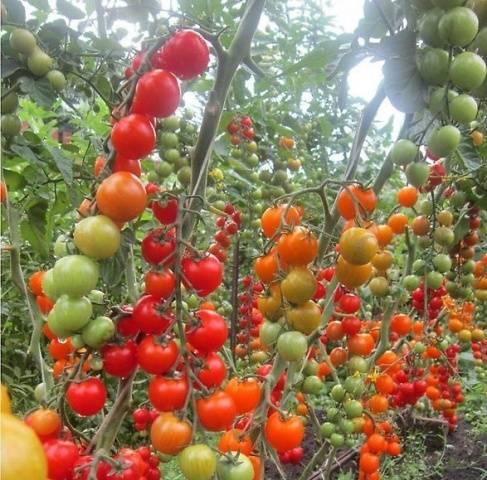 tomati gavrisha5