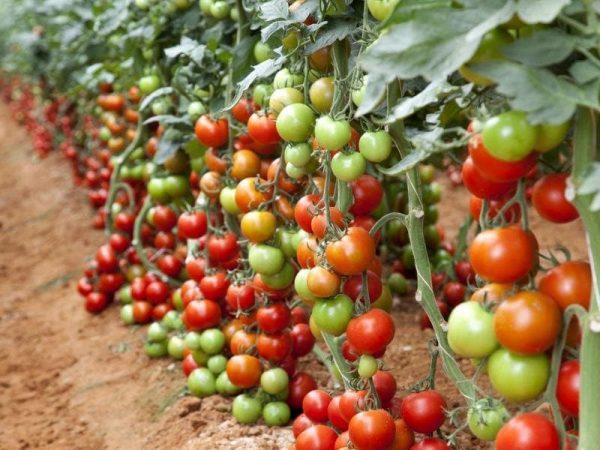 tomati gavrisha6