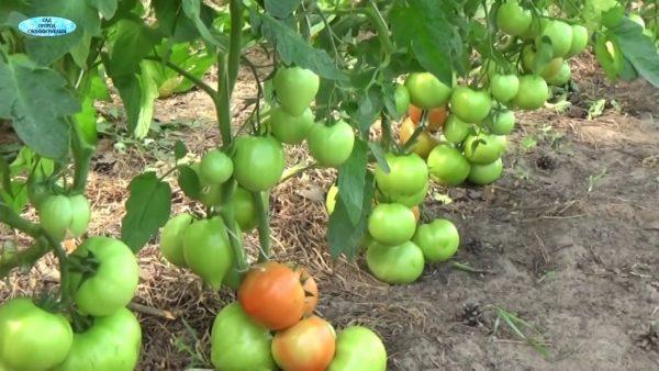 tomatoes3