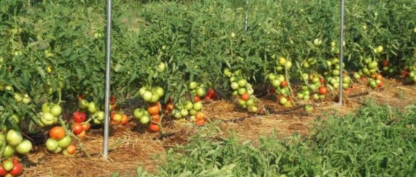 tomatoes8