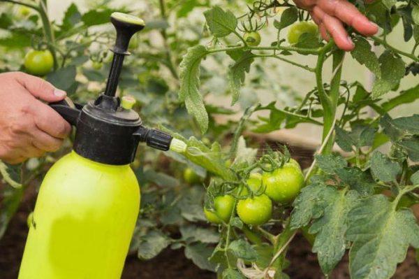 bogatiy urozhay tomatov11