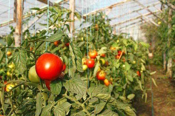 bogatiy urozhay tomatov4