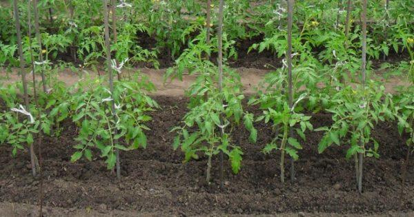 bogatiy urozhay tomatov7