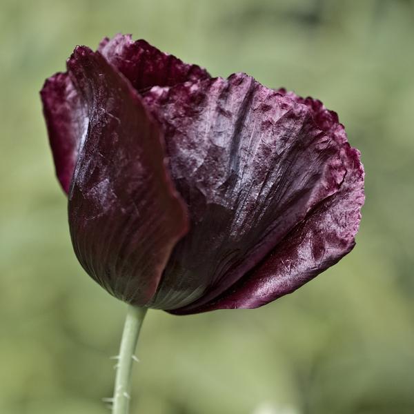 chernie zveti dlya sada9