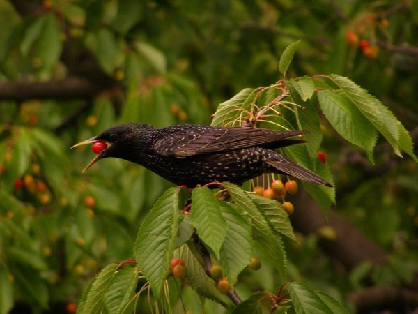 cherry bird4