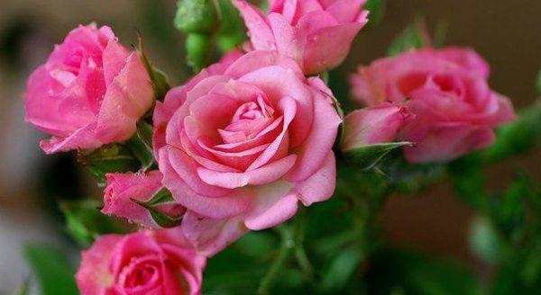 rozi fitosporin