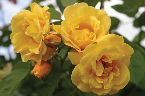 rozi fitosporin5