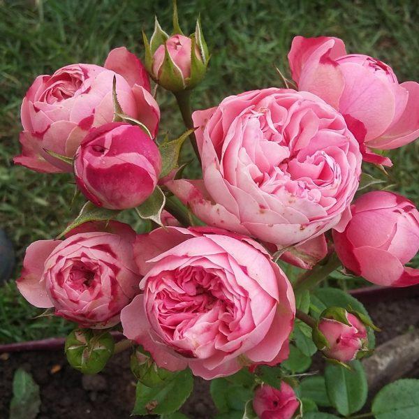 rozi fitosporin6