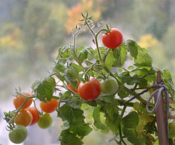 tomaty pomidory