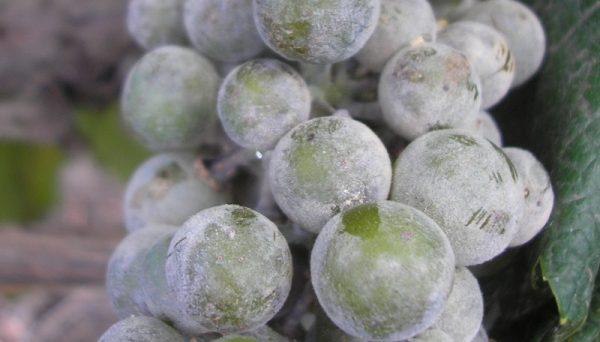 vinograd soda3