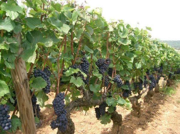 vinograd soda7