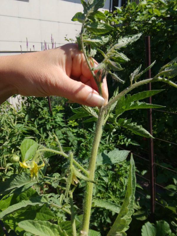 prishipivanie i pasinkovanie tomatov2