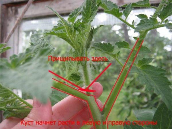 prishipivanie i pasinkovanie tomatov3