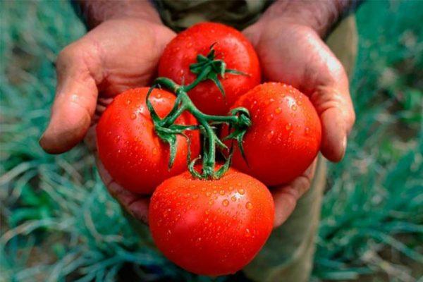 prishipivanie i pasinkovanie tomatov9