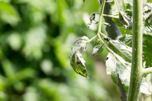 skruchivayutsya listya tomatov