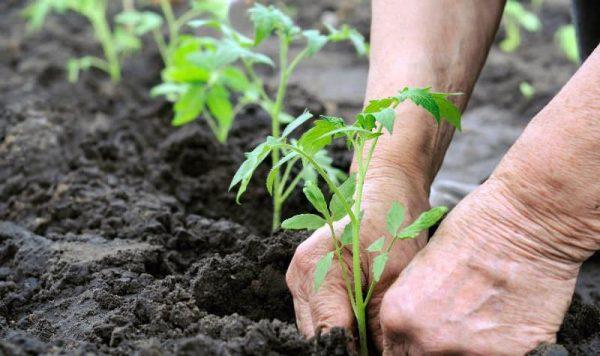 skruchivayutsya listya tomatov3