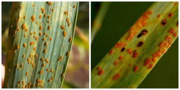 bolezni liliy10