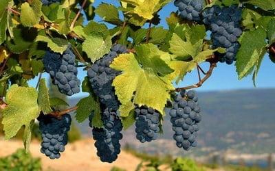 filoksyera vinogradnaya