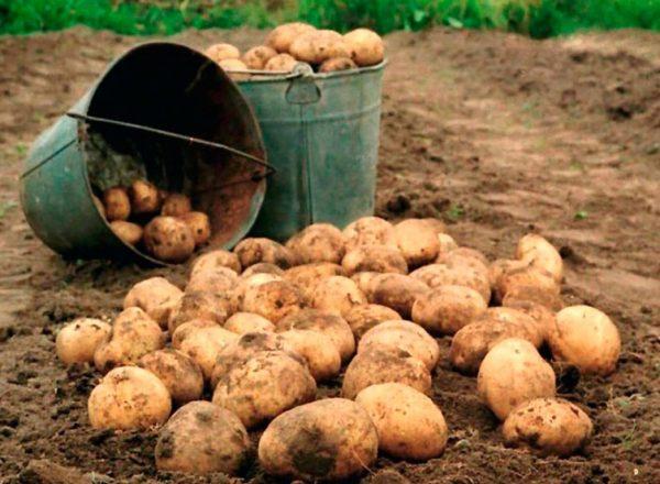 ploho rodit kartofely