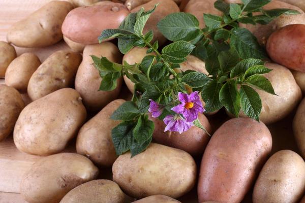 ranniy kartofel2