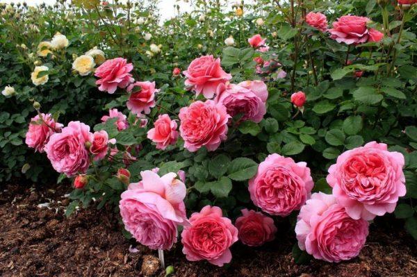 rozi v avguste