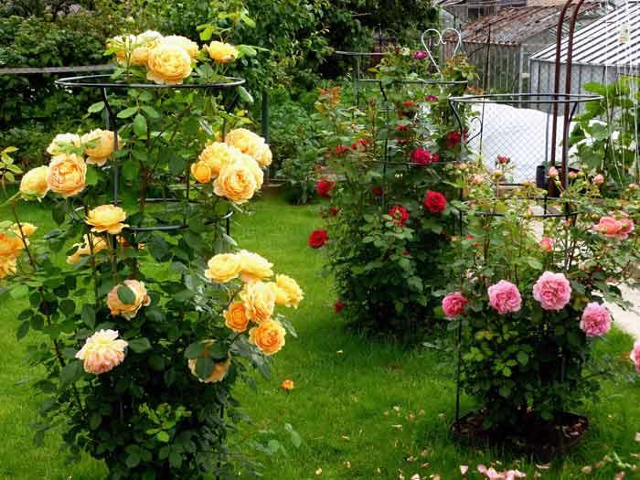 rozi v avguste4