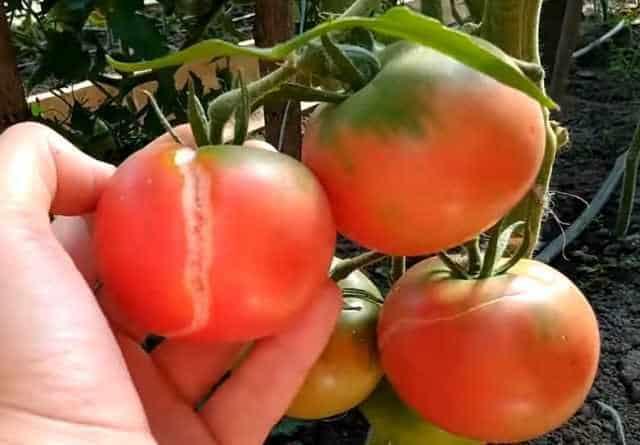 tomaty idealynie2